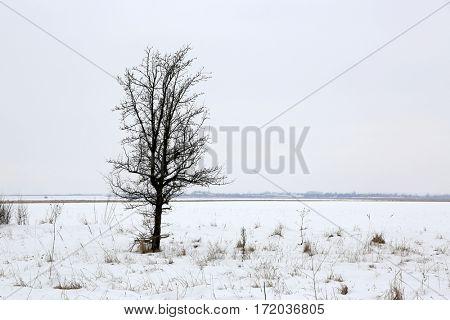 Alone tree on winter meadow