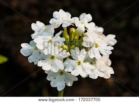 Blossoming Of A White Yarrow Close Up. Ahileya