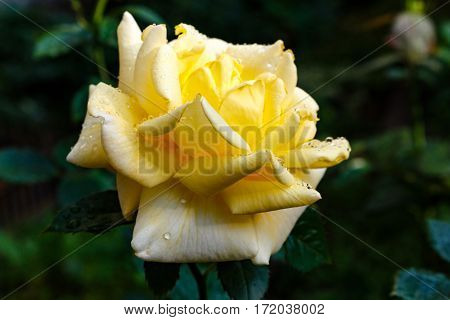 Yellow Rose After Rain. Petals With Drops Of Dew