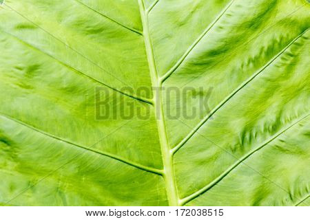 tropical green leave background close up view