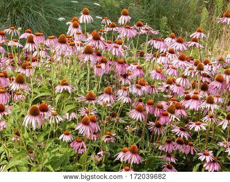 Lots of ipnk flowers Echinacea in the garden