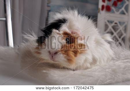 Furry guinea pig sitting on a white fur rug