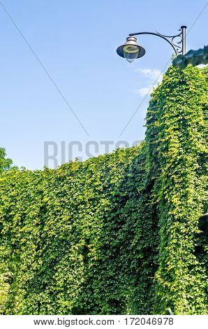 Green Ivy, Hedera Helix And Outdoor Street Light Poll