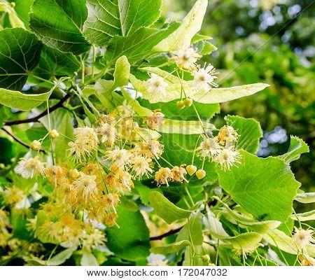 Yellow-orange Tilia Tree Flowers, Green Leaves, Close Up