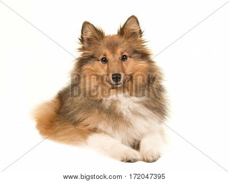 Longhaired shetland sheepdog seen from the front lying down on the floor facing the camera isolated on a white background