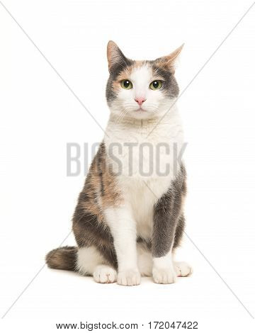 Grey orange and white female cat sitting seen from the front facing the camera isolated on a white background
