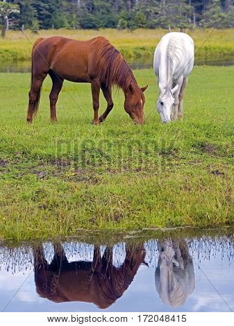 Arabian Horses chestnut and white grassing by creek reflection in water