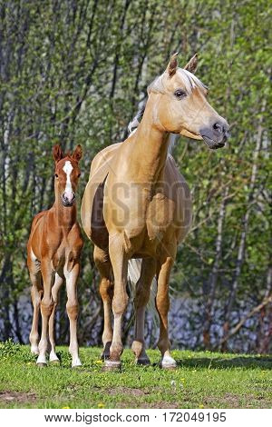 Palomino Mare at summer pasture watching over few week old chestnut Foal