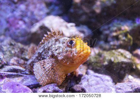 Fish Scorpion Fish Underwater