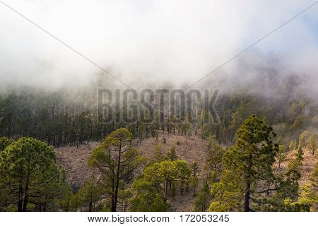 Forest in clouds on Teide mountains in Tenerife Canary Islands Spain