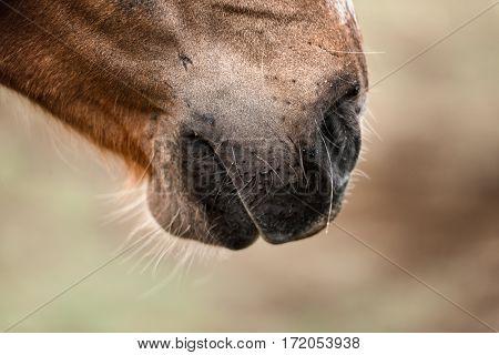 Icelandic horse muzzle close up