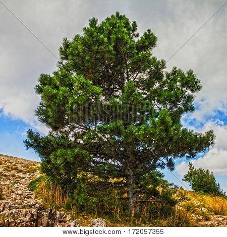 Natural landscape - pine trees. Mountain Ai-Petri, Crimea, Russia