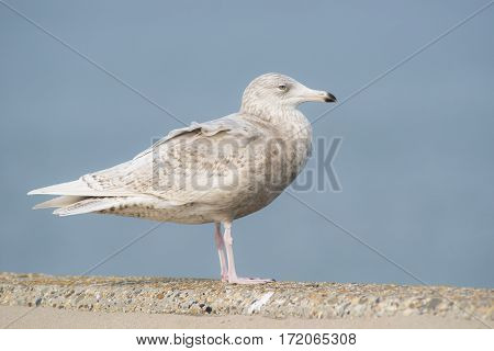 Glaucous Gull (Larus hyperboreus) standing on a Pier in a Harbour in 3rd Winter Plumage