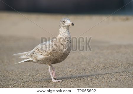 Glaucous Gull (Larus hyperboreus) in 3rd Winter Plumage walking on a Pier in a Harbour