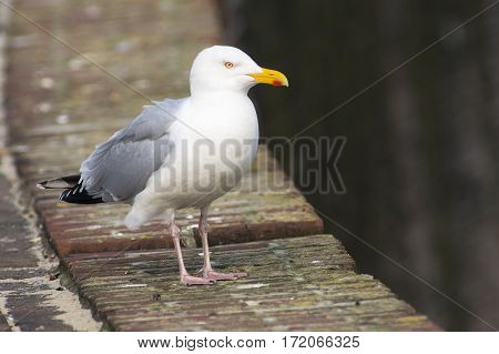 European Herring Gull (Larus argentatus) standing on a Pier in a Harbour
