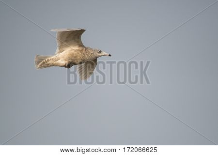 Glaucous Gull (Larus hyperboreus) in 3rd Winter Plumage in flight against a Blue Sky