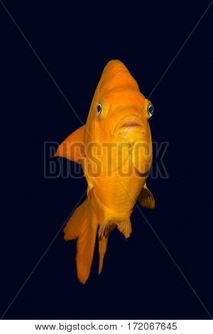 A bright orange Garibaldi damselfish hoovers mid-water at night time.