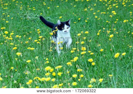 black and white fluffy kitten on a green lawn.toned