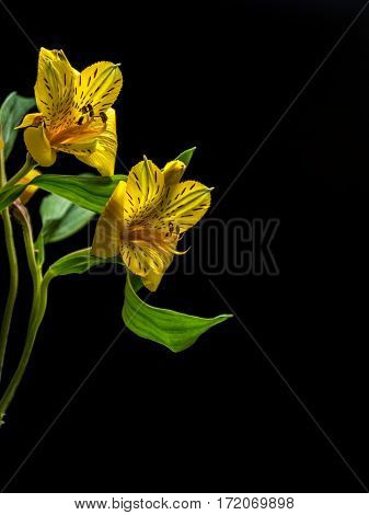 Alstroemeria on plain black background portrait orientation