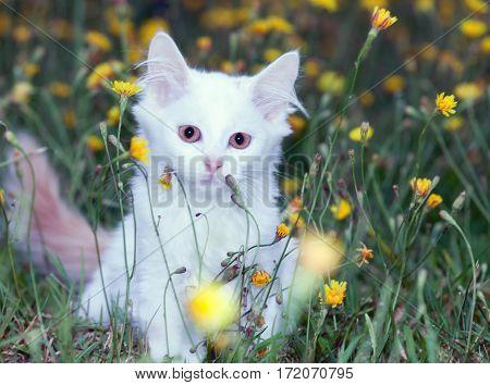 portrait of a cute white fluffy cat in dandelions