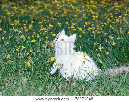 cute white fluffy cat playing on the meadow with dandelions