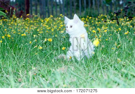 white fluffy cat on the meadow with dandelions