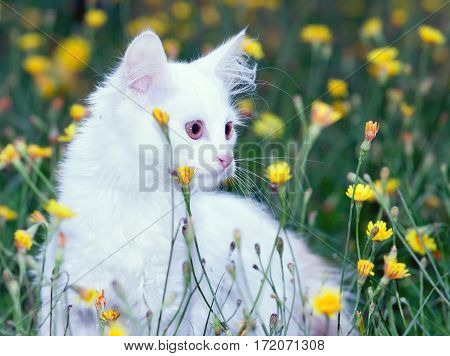 toned portrait of a cute white fluffy cat in the meadow with flowers.