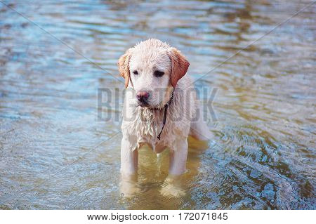 Funny labrador first bathes in the river. Cute reaction.