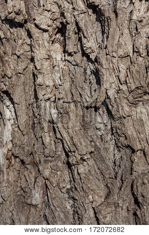 Wrinkled Old Willow Tree Bark, Willow Bark Texture