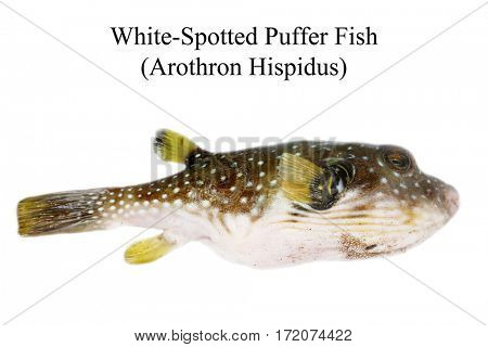 white-spotted puffer fish aka Arothron hispidus . isolated on white with room for text
