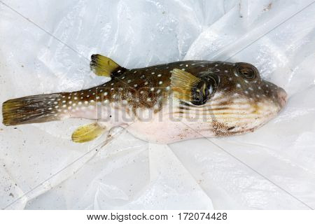 white-spotted puffer fish aka Arothron hispidus
