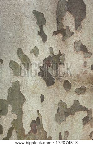 Background Of Plane Tree Bark , Plane Tree Bark Texture