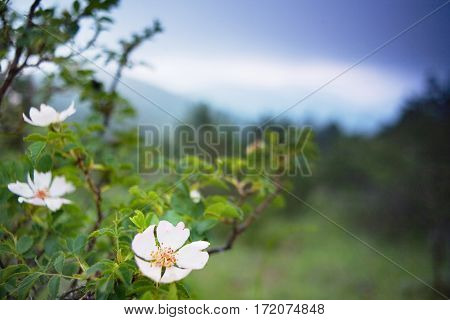 Wild ligth-pink  Rose blooms on the meadow  in the mountains before the storm