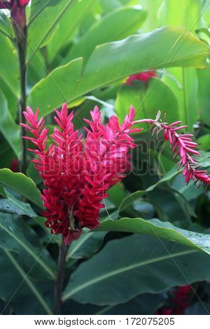 Alpinia purpurata, red ginger, also called ostrich plume and pink cone ginger. Red flower with green leafs. plant. flower.
