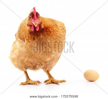 Brown hen with egg isolated on white studio shot.