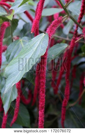 Acalypha hispida, aka Chenille plant and Philippines Medusa, red hot cat's tail, fox tail, pokok ekor kucing, Rabo de Gato, Tai t??ng ?uôi ch?n, shibjhul,  Acalypha hispida