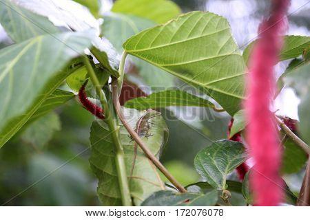 Acalypha hispida, aka Chenille plant and Philippines Medusa, red hot cat's tail, fox tail, pokok ekor kucing, Rabo de Gato, Tai t??ng ?uôi ch?n, shibjhul,  Acalypha hispida