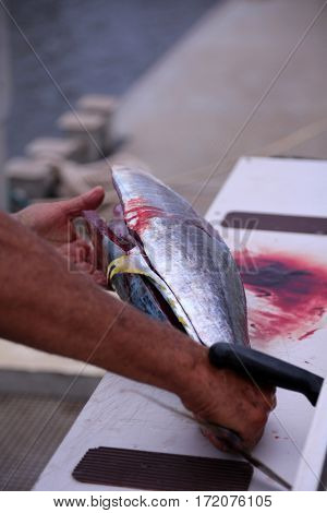 yellowfin tuna aka Thunnus albacares. Yellow Fin Tuna being cut up for cooking.  Tuna Fish.