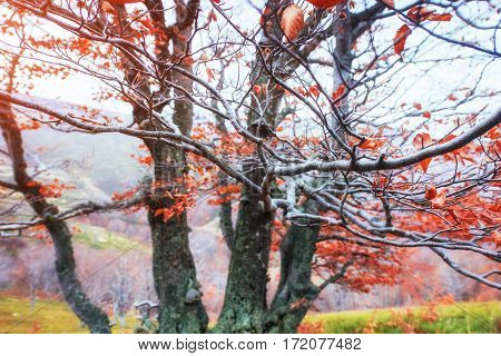 Autumn in the Carpathians. Fantastic views in October. The magical combination of flowers, frost, frost and drawing branches. Ukraine, Europe.