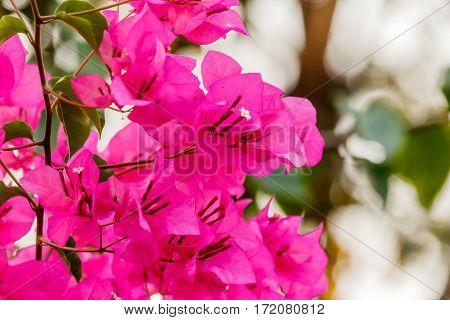 bougainvillea bloom  (bougainvillea flower pink) in garden.