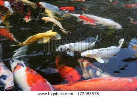 Koi fish . aka nishikigoi and brocaded carp are ornamental varieties of domesticated common carp, Cyprinus carpio that are kept for decorative purposes in outdoor koi ponds or water gardens.