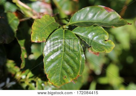 coffee plant leaf.