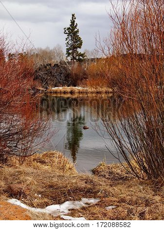 Red and orange bushes on the banks of the Deschutes River frame a tall ponderosa pine tree in a lava rock field on the opposite bank that is reflecting in the water on a Central Oregon winter day.