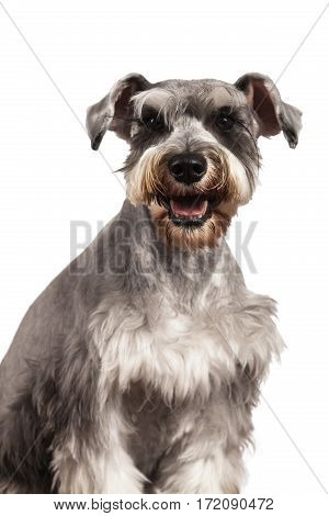 Schnauzer dog portrait on a white background
