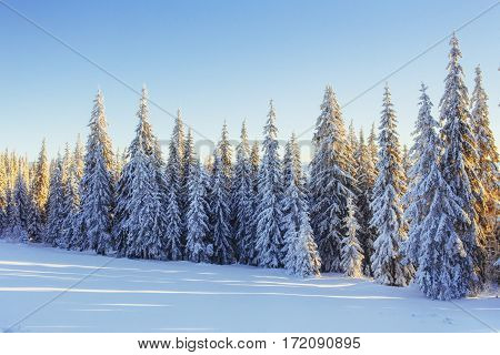 Mysterious winter landscape majestic mountains in winter. Magical winter snow covered tree. In anticipation of the holiday. Dramatic wintry scene. Carpathian. Ukraine. Europe