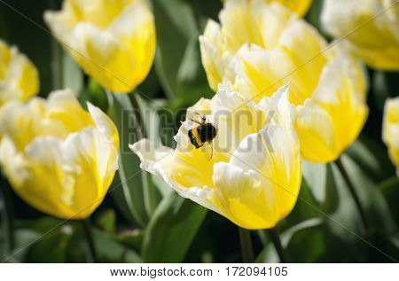 Sunny Spring With Yellow Tulips and Bumblebee