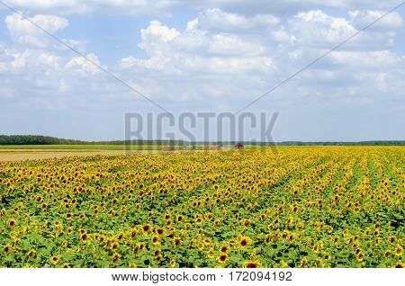 Photo of the Agricultural Farm Sunflower Field
