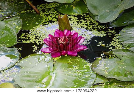 Photo of Single Pink Water Lilly Flower