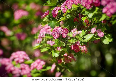 Photo of Spring and Summer Pink Flower Bush