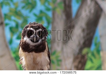 A South American Spectacled owl gazing intently at you with its large eyes which seem to follow you.